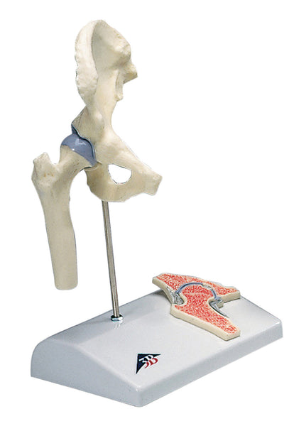 Anatomical Model - functional hip joint