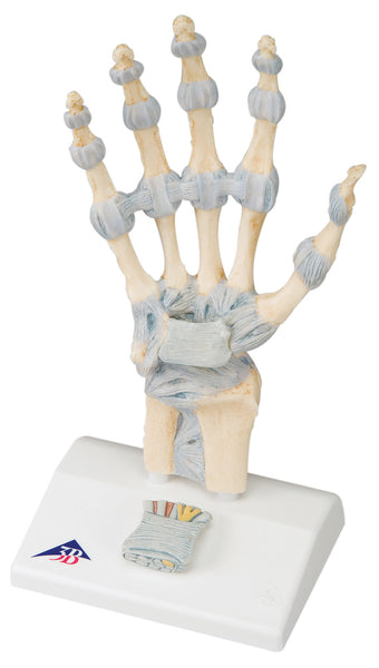 Anatomical Model - hand skeleton with ligaments