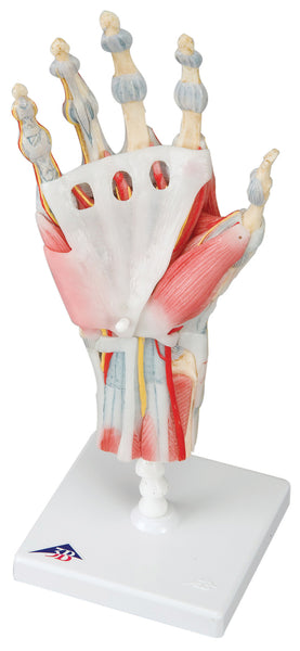 Anatomical Model - hand skeleton with ligaments & muscles