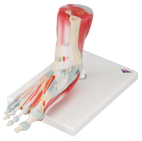 Anatomical Model - foot skeleton with ligaments & muscles