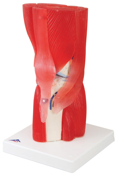 Anatomical Model - knee joint with removable muscles, 12-part