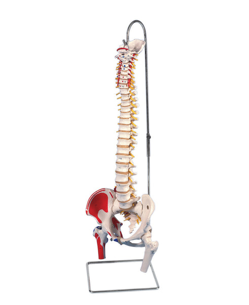 Anatomical Model - flexible spine, classic, with femur heads, muscles