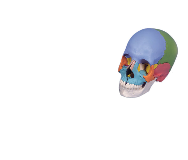 Anatomical Model - classic skull, 3-part painted