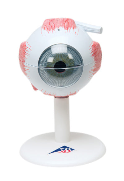 Anatomical Model - eye, 6-part (3x size)