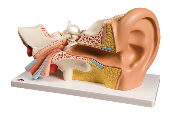 Anatomical Model - ear, 4-part (3x size)