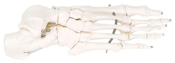 Anatomical Model - loose bones, foot skeleton, right (wire)