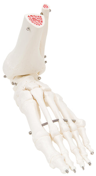 Anatomical Model - loose bones, foot skeleton with ankle, left (wire)
