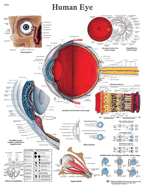 Anatomical Chart - eye, paper
