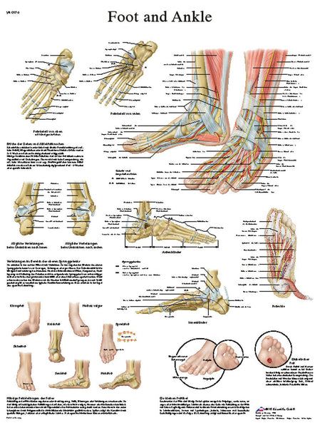 Anatomical Chart - foot & ankle, laminated