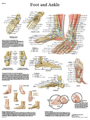 Anatomical Chart - foot & ankle, paper