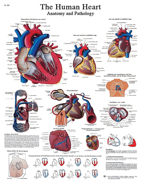 Anatomical Chart - human heart, laminated