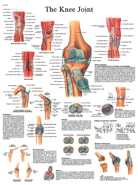 Anatomical Chart - knee joint, paper