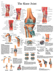 Anatomical Chart - knee joint, laminated