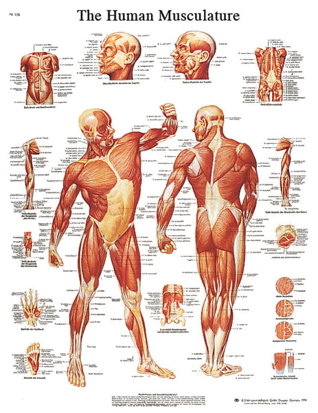 Anatomical Chart - musculature, sticky back