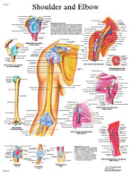 Anatomical Chart - shoulder & elbow, paper