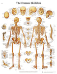 Anatomical Chart - human skeleton, sticky back