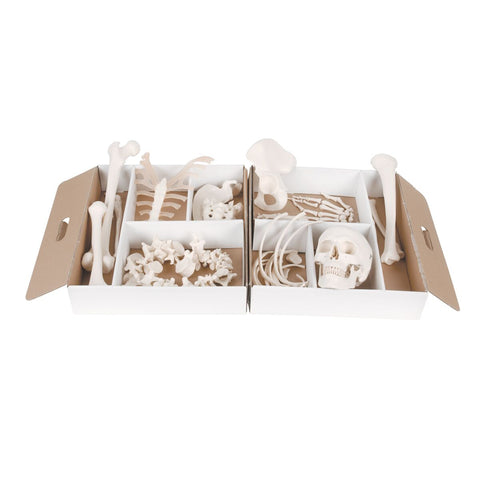 Disarticulated Half Skeleton 52 pieces