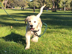 Puppy Development Program Level 2 - Hyde Park- Saturday 25th January