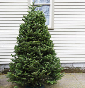 Real Christmas Tree 7 Foot Balsam Fir Delivered