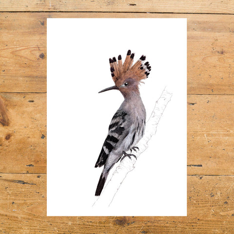 Hoopoe on White