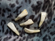 Water Buffalo Teeth (5 Pack)