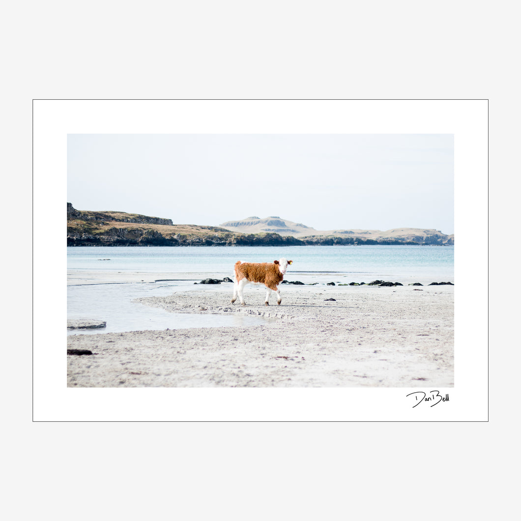 A Wee Coo on Muck