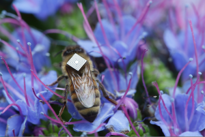 Honey bees with backpacks smart sensor technology