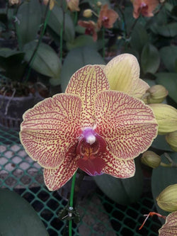 Phalaenopsis strip GE03