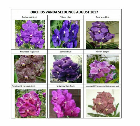 VANDA SEEDLING COMBO PACK 10 PLANTS