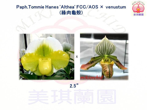 paph tommie hanes cross