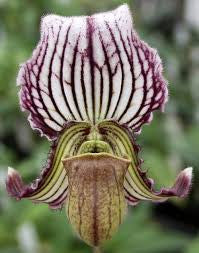 Paph fairrieanum