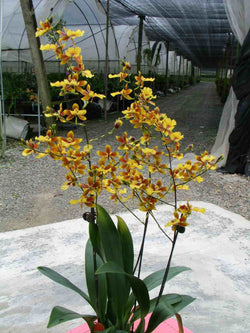 Oncidium Hwuleden chameleon colourful lake