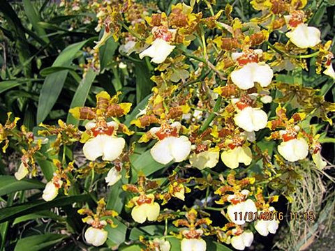 Oncidium Yuanan Gold