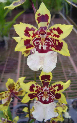 Oncidium wiild cat yellow butterfly