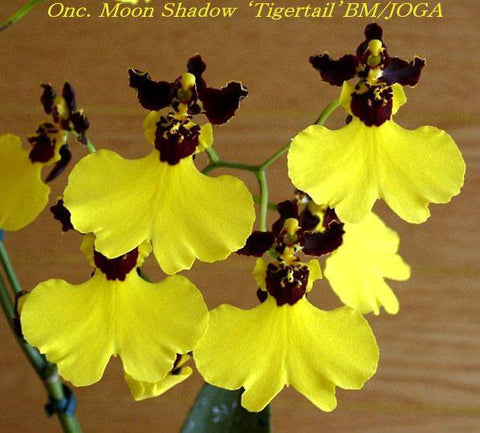 Oncidium Moonshadow tiger tail