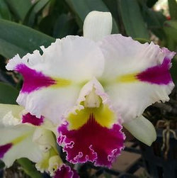 Rlc Patchara Fancy