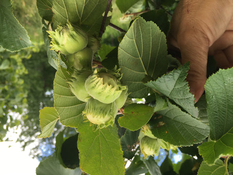 Hazel tree mid-summer with jumbo sized hazelnuts at Z's Nutty Ridge