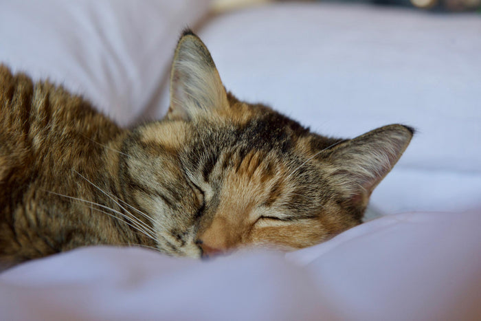 up close image of sleeping cat