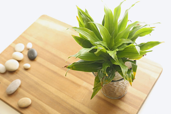 Dracaena Janet Craig plant and stones on small wooden table