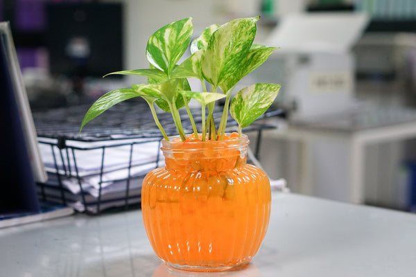 Golden Pothos plant in orange vase