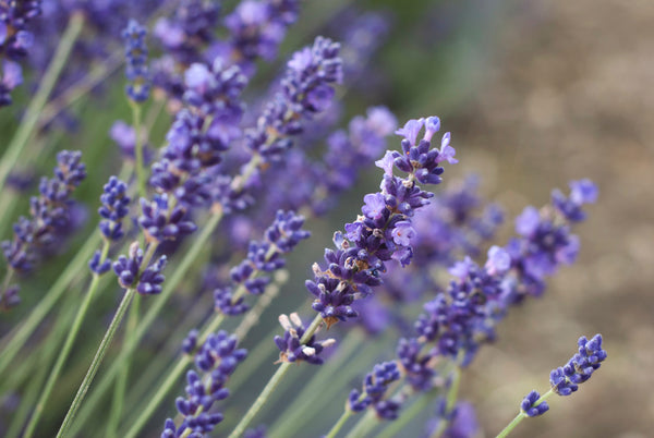 close up of lavender