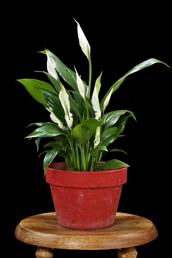 small peace lily plant in red clay pot on wooden table