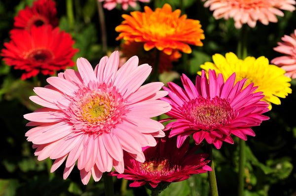 pink, orange, red, yellow gerbera daisies