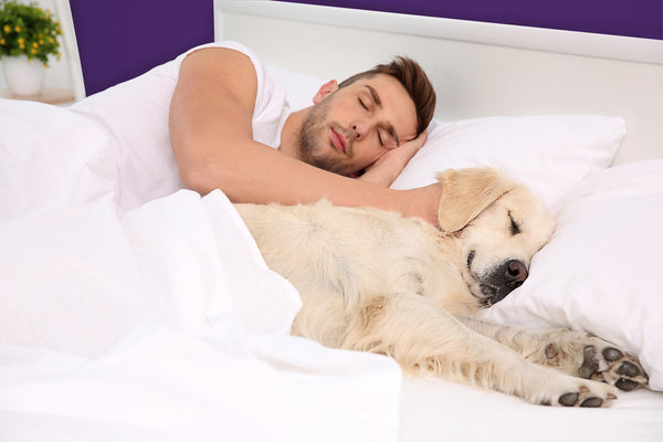 Man sleeps next to golden retriever dog