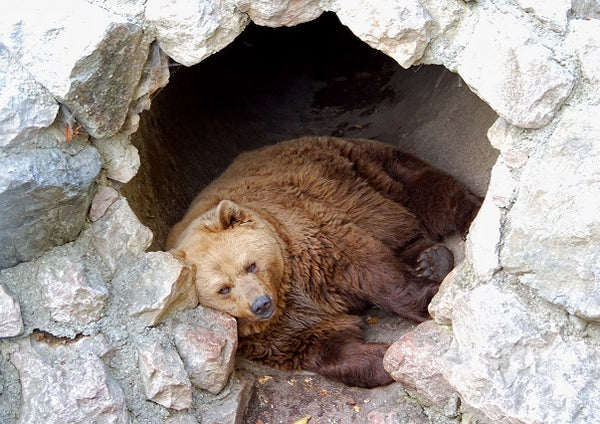 grizzly bear resting inside cave