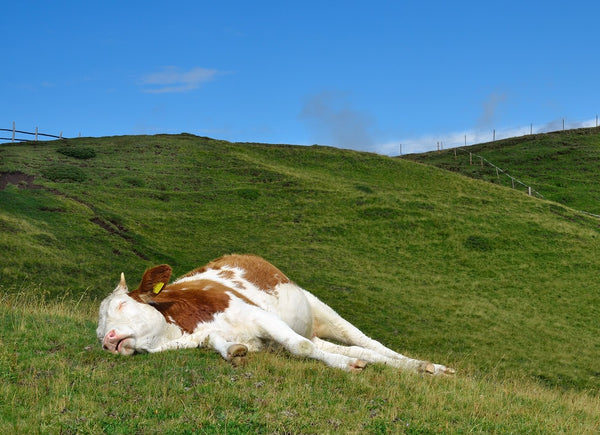 brown and white cow sleeps on green grass