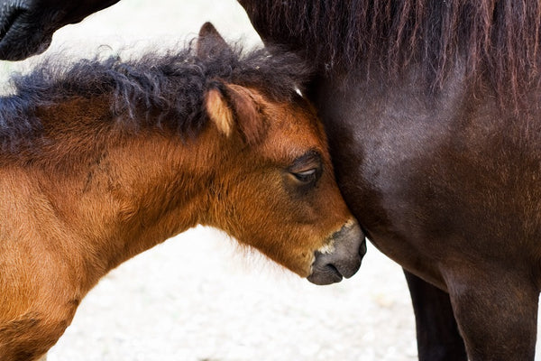 small horse sleeping with mother