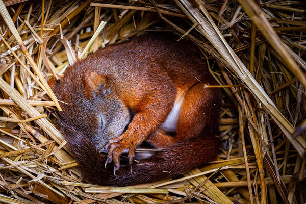 small squirrel sleeps in nest