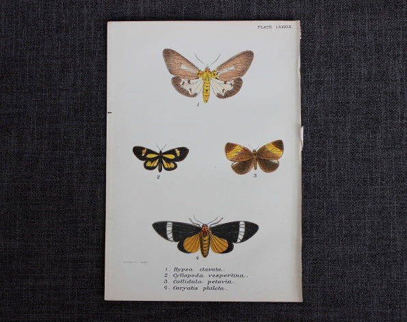antique butterfly illustration
