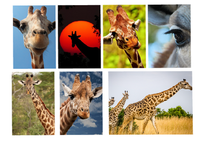Giraffe Kit-Photography
